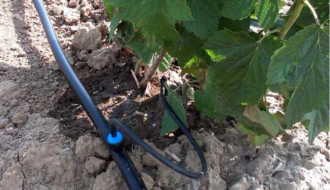 Bodová, cílená závlaha keřovitých plodin. Kapkovač iDrip zakončený kapkovací jehlou.