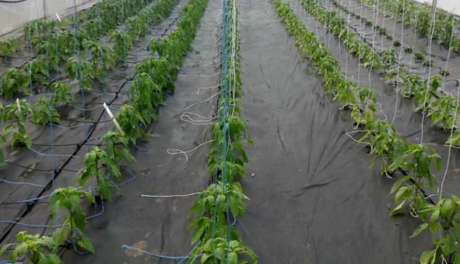 Cílená závlaha při zavlažování paprik ve skleníku.