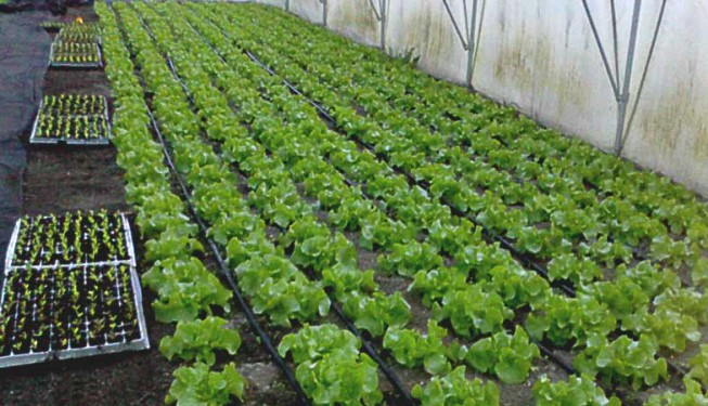 Kapkovací potrubí k zavlažování salátu ve foliovníku.