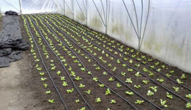 Kapkovací potrubí při produkčním pěstování.