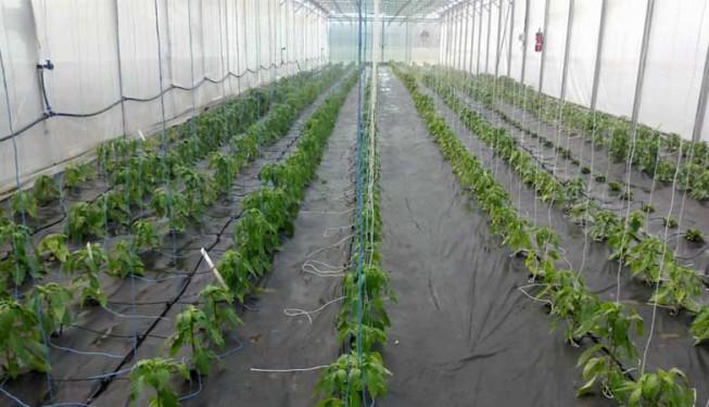 Zavlažování paprik ve skleníku, kapkovací jehly.