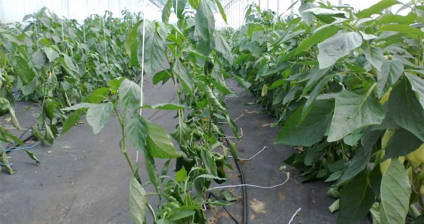 Zavlažování paprik ve skleníku mikro závlahou - kapkovací jehly
