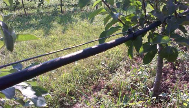 Zavlažování sadu kapkovacím potrubím.